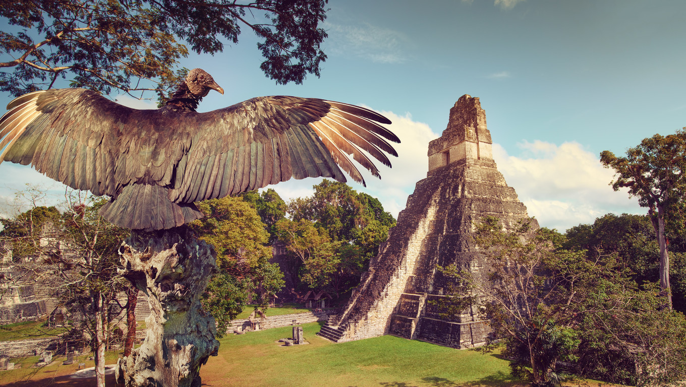 Neophron looking at the ancient ruins of the Mayan city of Tikal. Central America, Guatemala