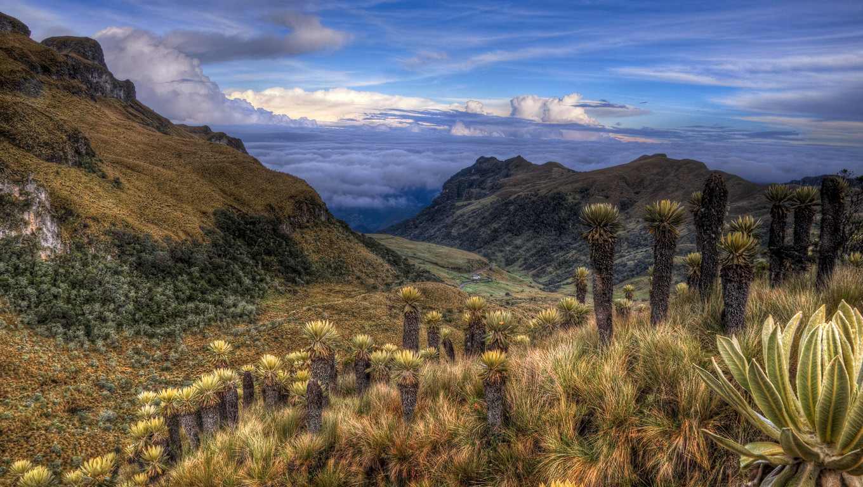 Paramo landscape in Colombia near Nevado del Ruiz dotted with espeletia plants.