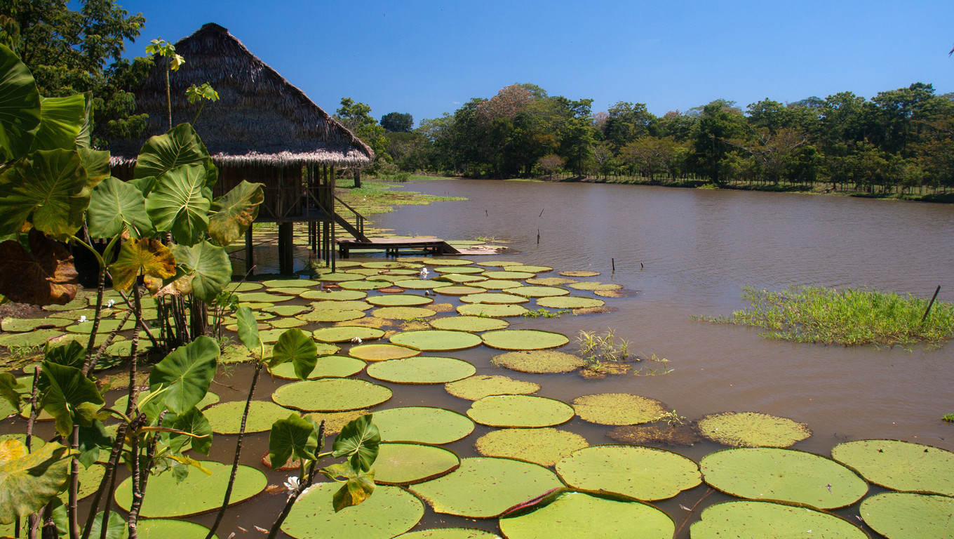 Giant lillies, strong enough to hold an adult, in the Amazonas, Colombia