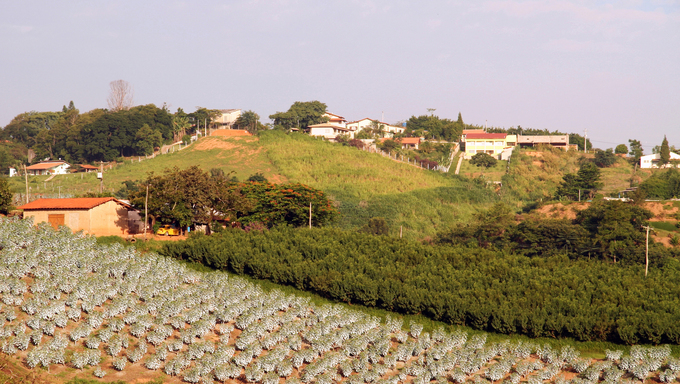 Rural area showing a fig plantation on a small city in the country side of Sao Paulo, Brazil