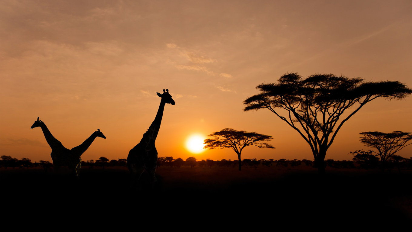 Setting sun with silhouettes of Giraffes and Acacia trees on Safari in Serengeti National Park