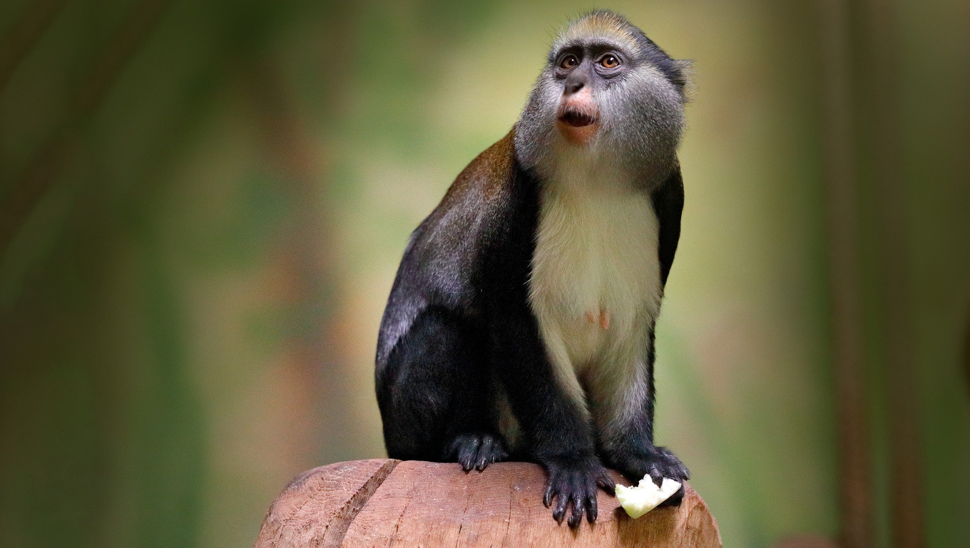 Campbell's mona monkey or Campbell's guenon monkey, Cercopithecus campbelli, in nature habitat. Animal forest. PRimate from  Ivory Coast, Gambia, Ghana, Guinea, Guinea-Bissau, Liberia, Senegal, Africa