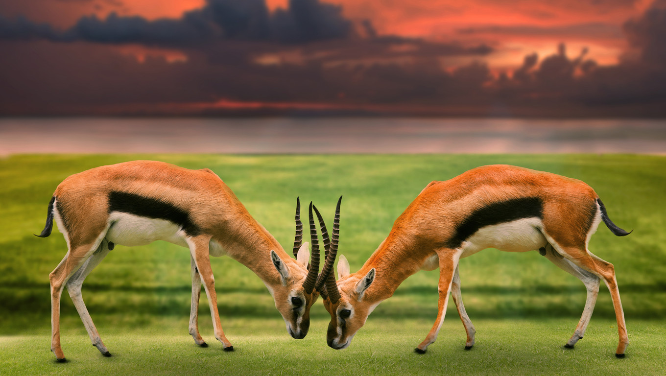 two male thomson's gazelle fighting by horn in green grass field against beautiful landscape
